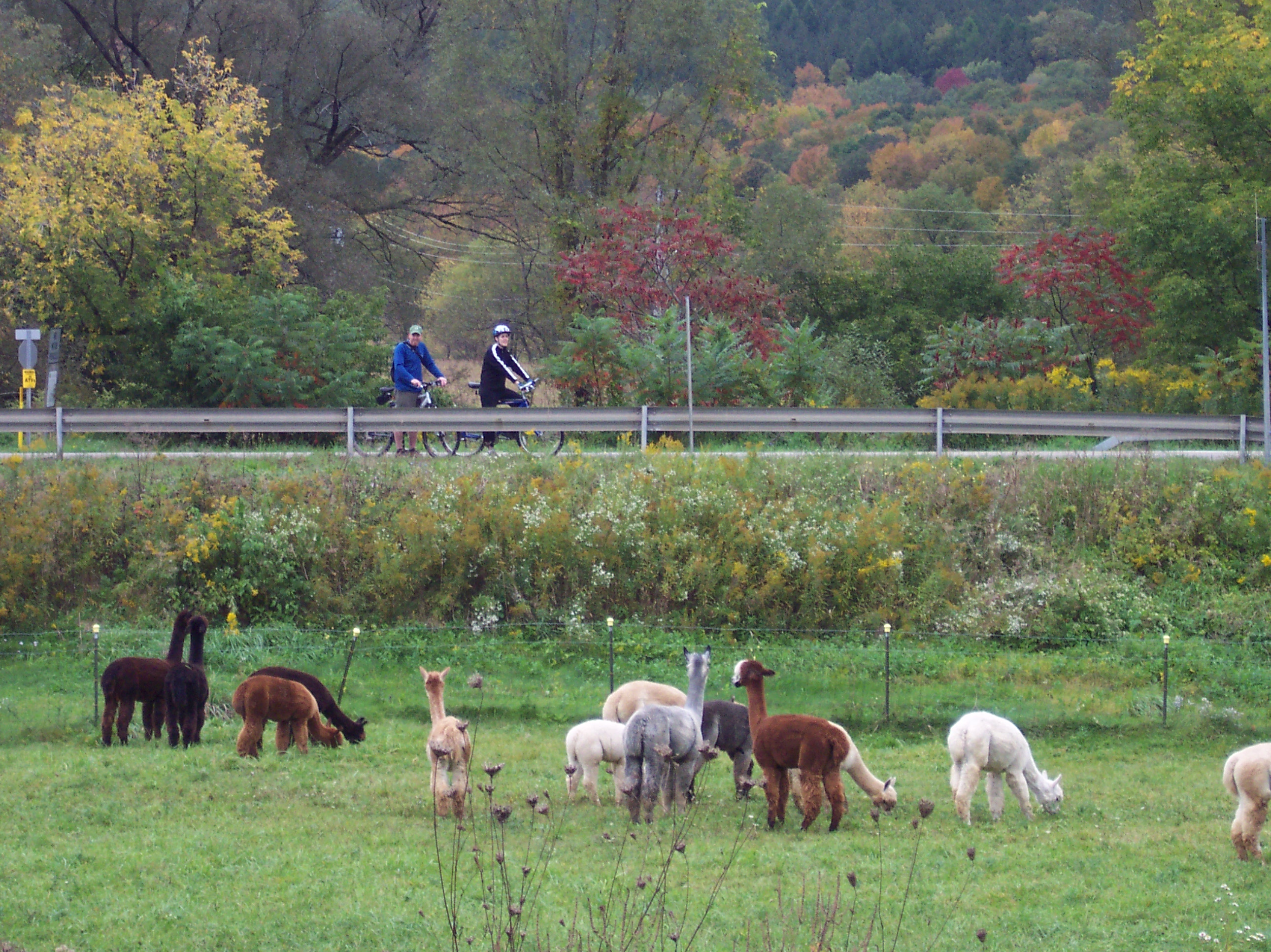 Alpacas at Mager Mountain Alpacas, along the Amish Trail in Little Valley NY.