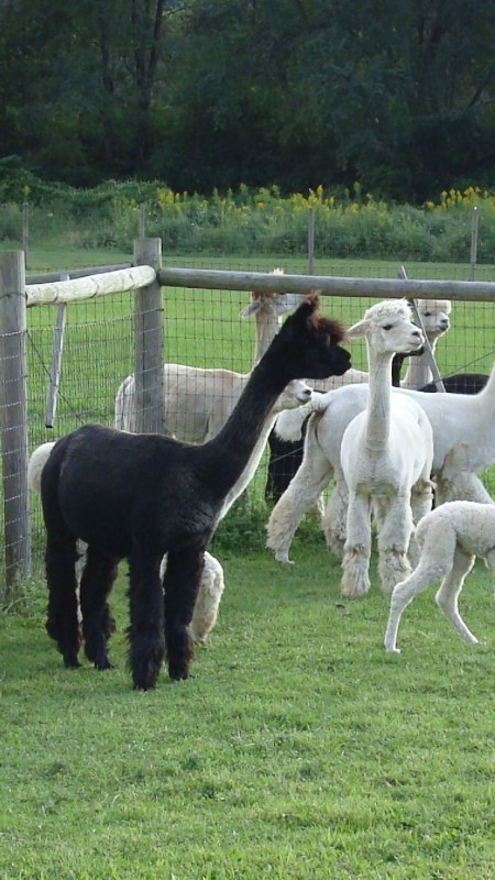 Alpacas at Sugartown Farms