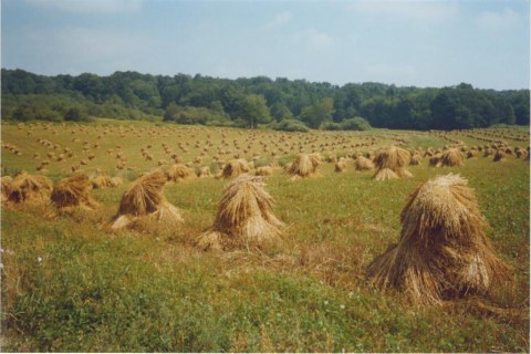 Oat Bundles in Shocks along the New York's Amish Trail