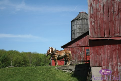 Belgian Workhorses waiting by the barn