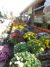 Mums at Randolph Peaches & Cream