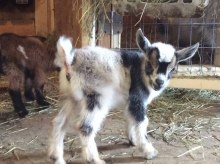 Nigerian Dwarf Goat Kid at Udderly Top Notch Nigerian Goat Farm
